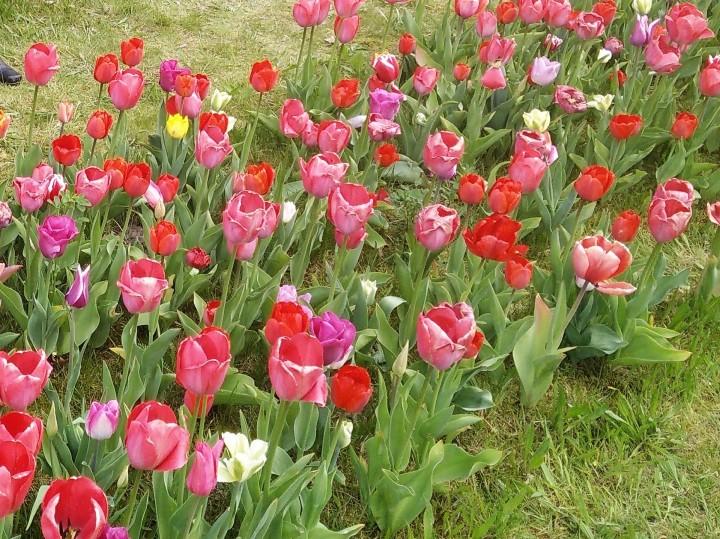 tulip blog